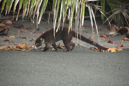 Coati (Kopie)