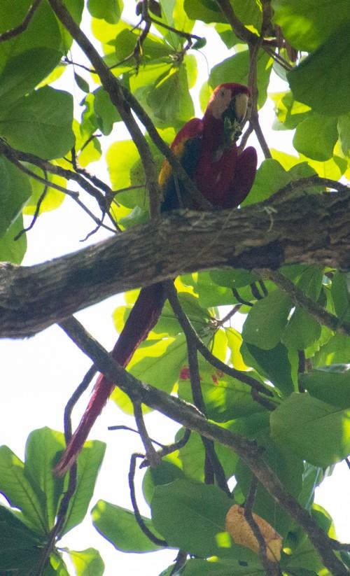 Macaw 2 (Kopie)