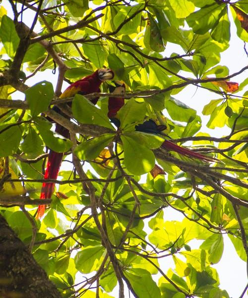 Macaw (Kopie)