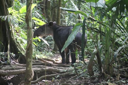 Tapir (Kopie)