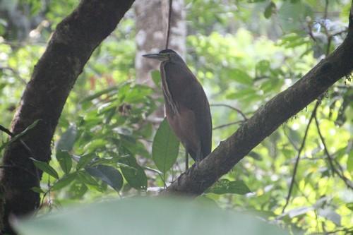 Tiger Heron (Kopie)
